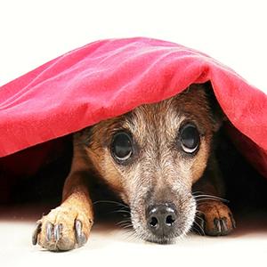 Bruine hond met vuurwerkangst schuilt onder een rood dekentje
