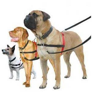 3 honden met een Halti harnas aan wat een borsttuig is voor de hond om trekken te stoppen