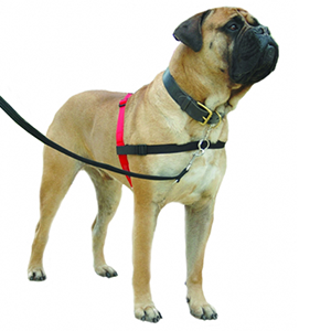 Hond met Halti front control harnas